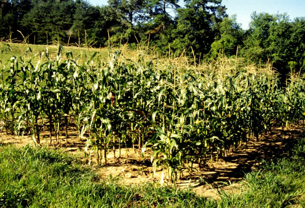 small plot of organic sweet corn