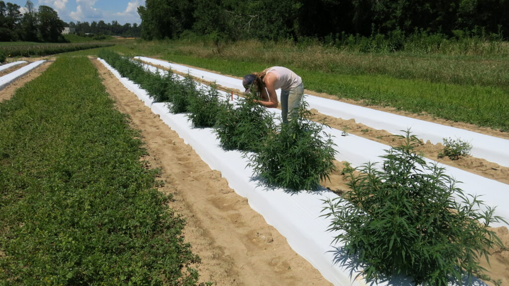 woman collecting data in hemp field