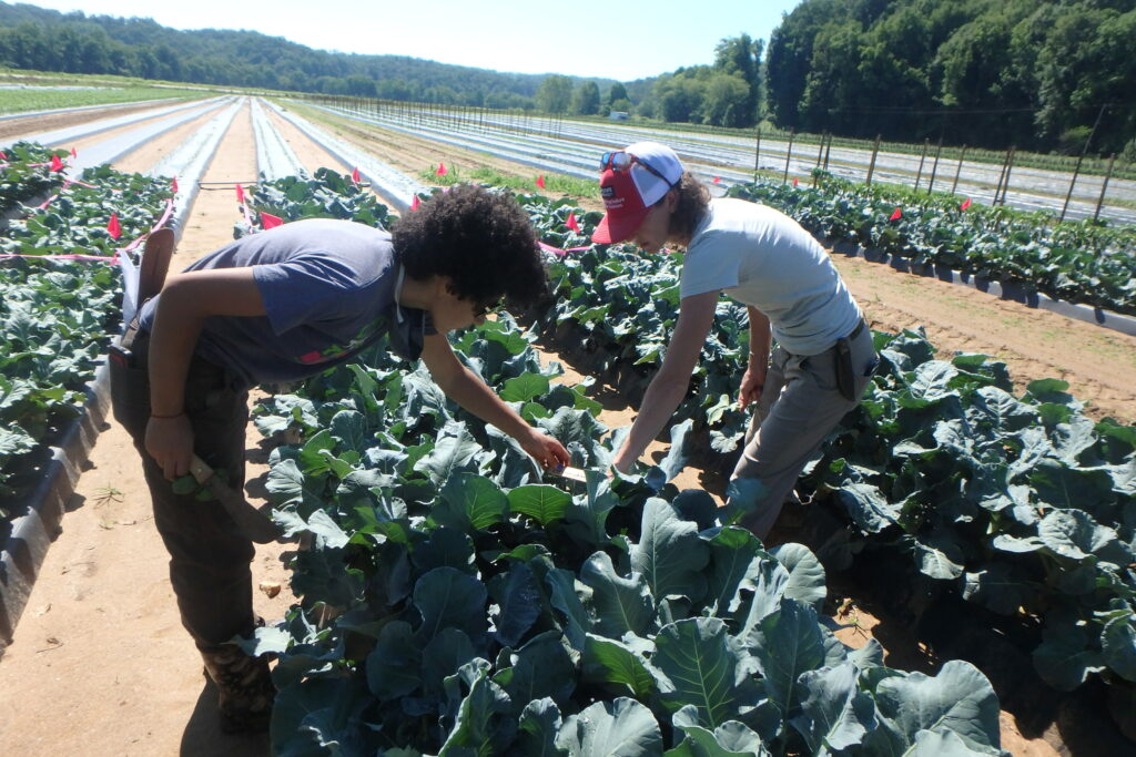 two people harvesting broccoli