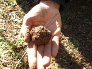 a black Perigord truffle in a hand