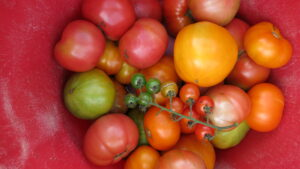 bucket of tomatoes of different colors and shapes
