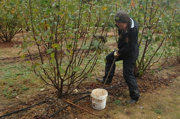 Person collecting a soil sample in a truffle orchard