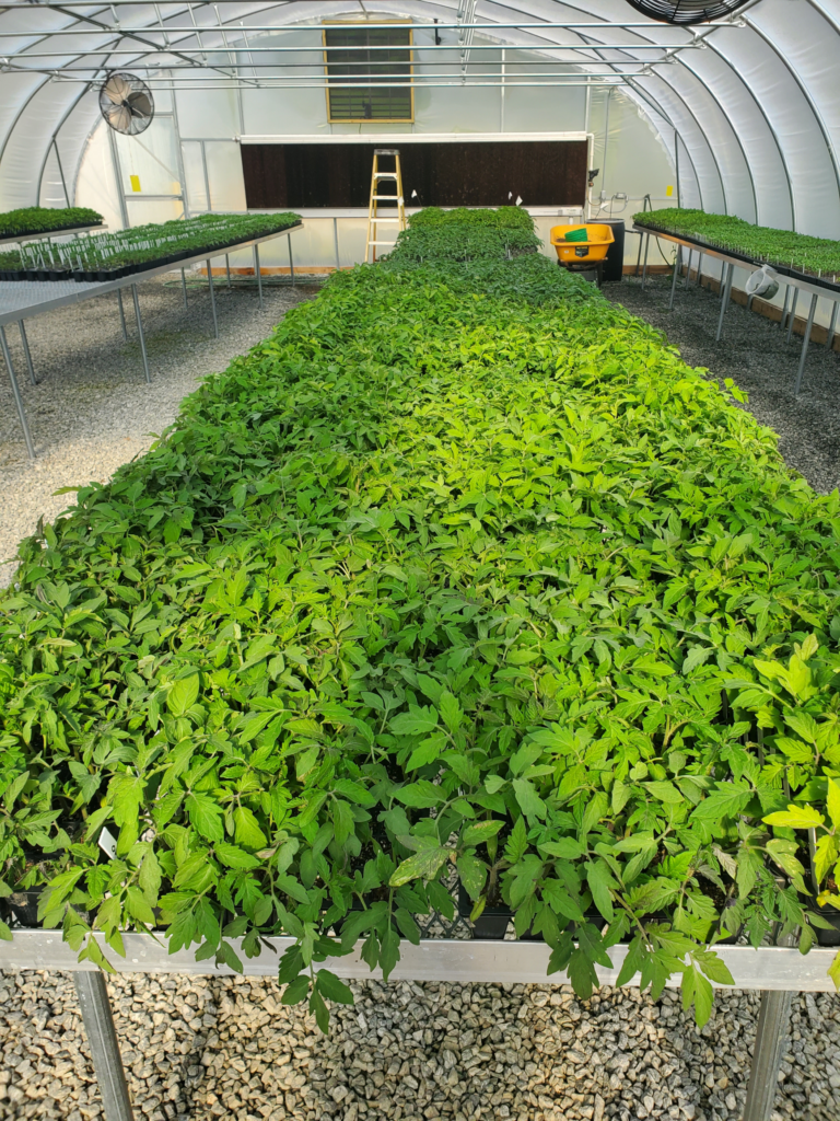 Organic tomato transplants growing in a greenhouse