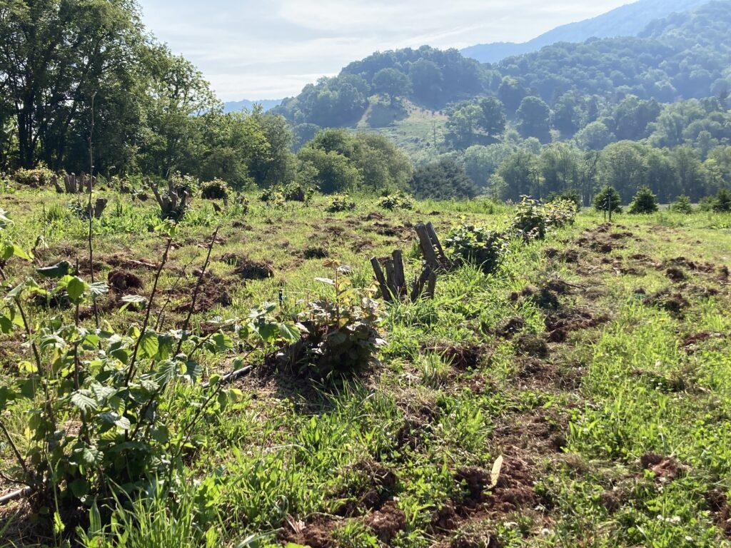 Harrowed soil in a truffle orchard