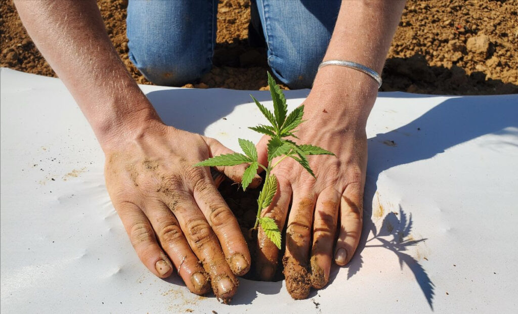 hands setting a young hemp plant into white plastic mulched bed