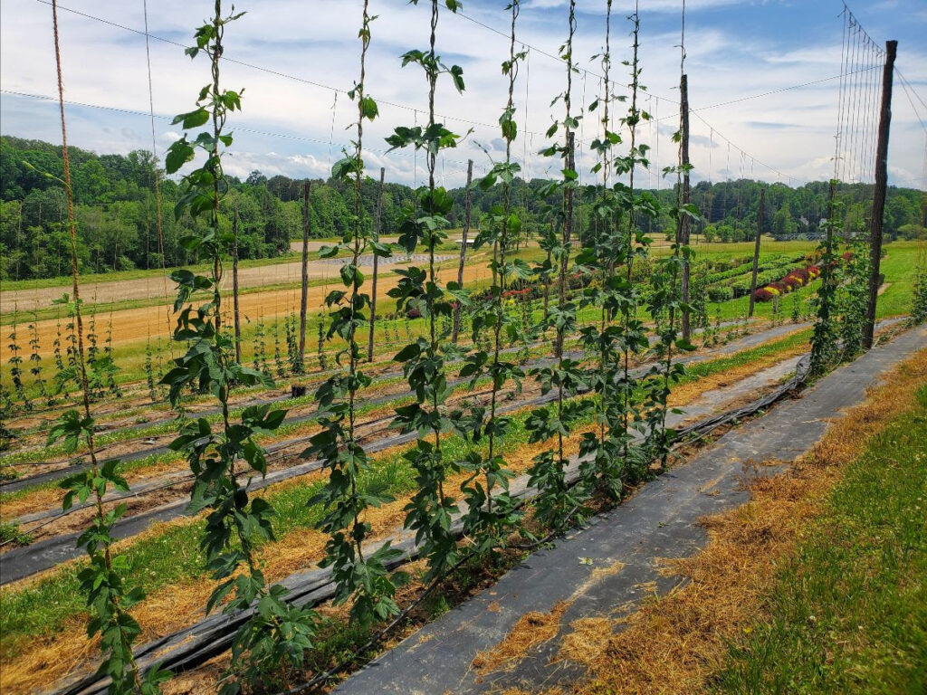 Young hops growing on a trellis