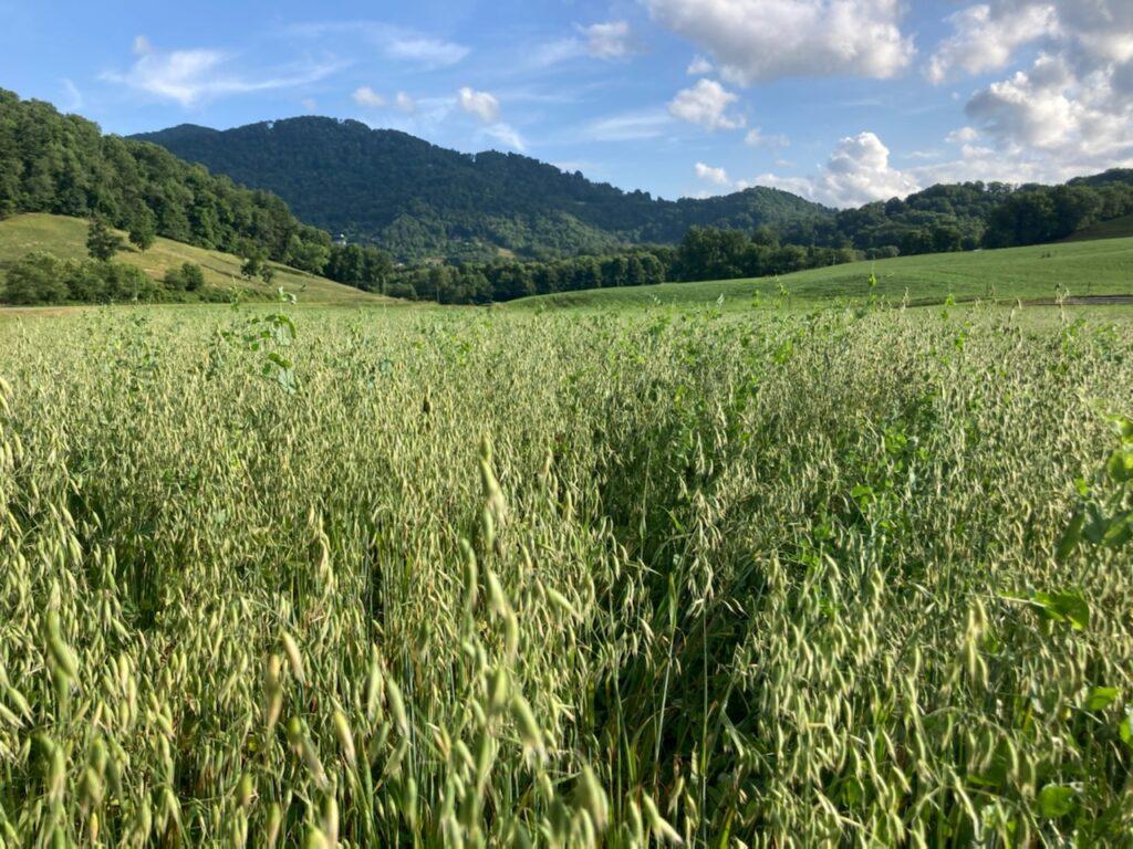 milky oats in field