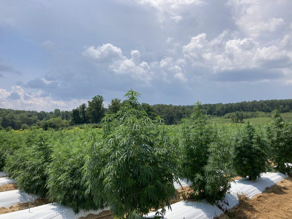 Floral hemp field trial