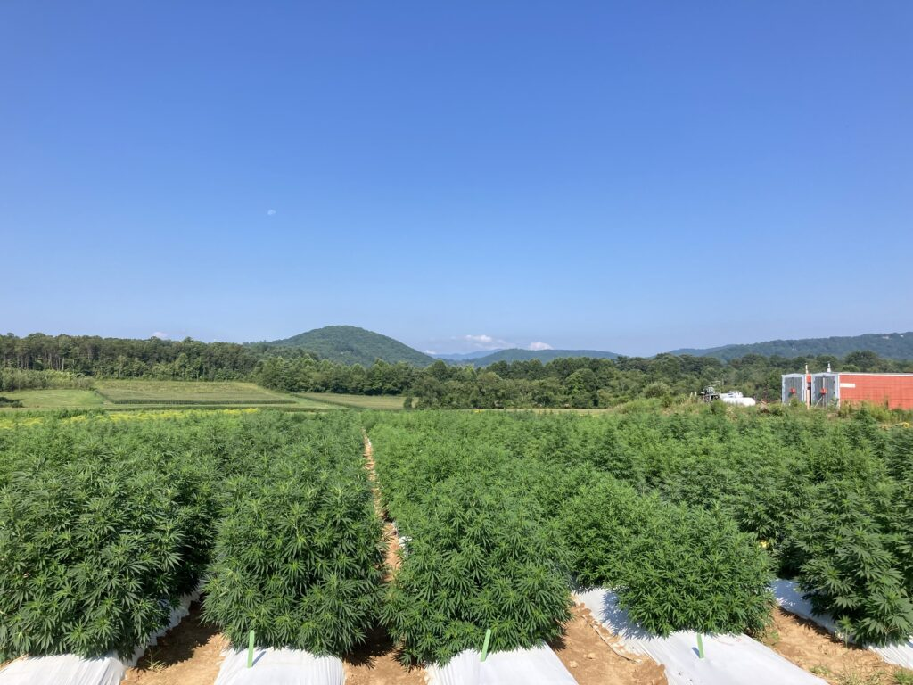 field of floral hemp