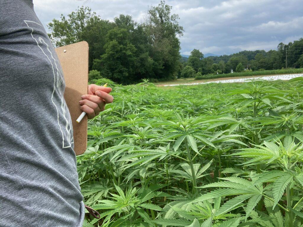 fiber hemp in the field