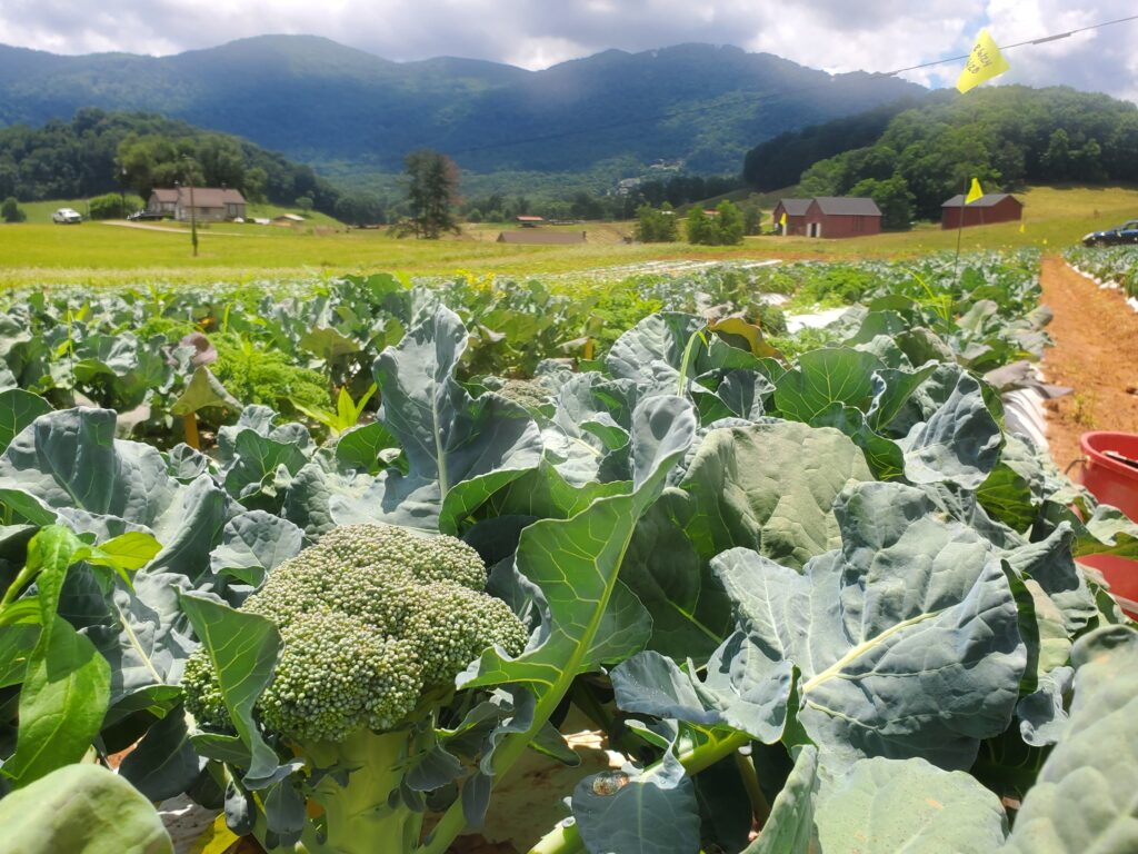 broccoli heading in field in mountains
