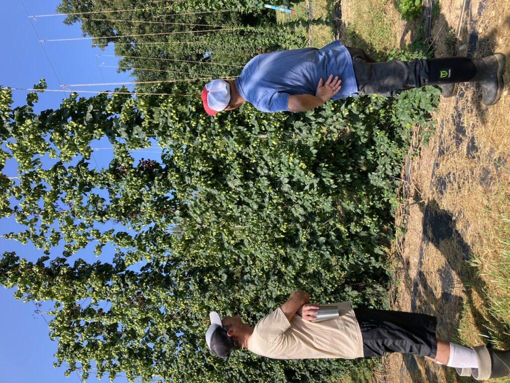 two brewers looking at NC State hops breeding lines