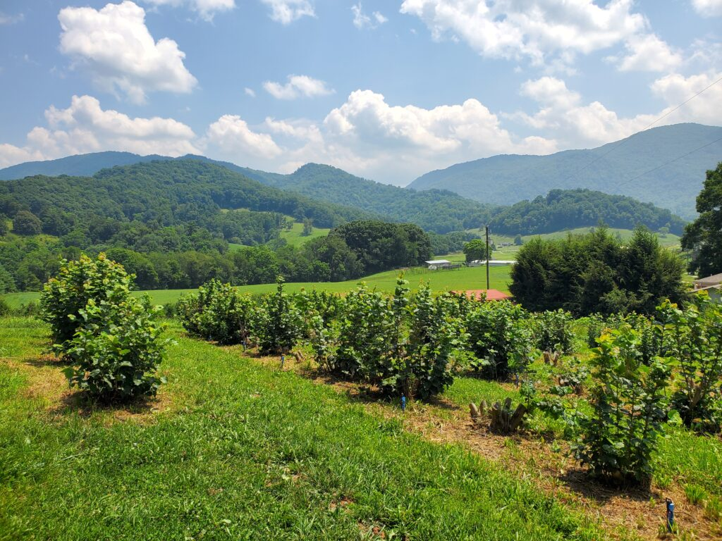 Filbert orchard inoculated with truffles